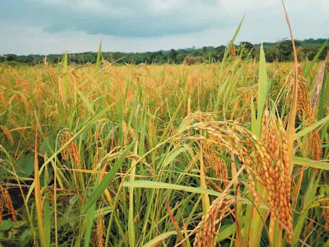 German invests €2m in Nigeria's rice production